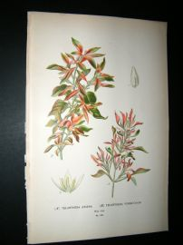 Step 1897 Antique Botanical Print. Telanthera Amaena Telanthera Versicolor
